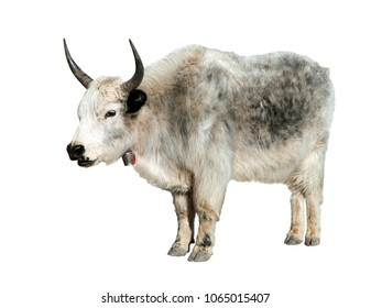Grey yak (Bos grunniens or Bos mutus) isolated on white background, Yaks are farm and caravan animal in Nepal and Tibet