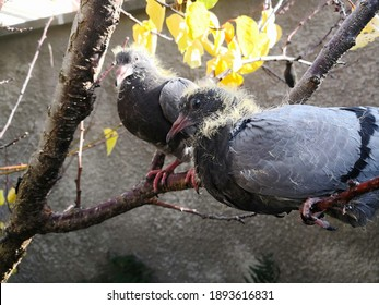 Grey young pigeon with yellow down sitting on the branch of the tree and looking attentively at the reader in blurry background of another young pigeon. Intelligent eyes of funny bird. Selective focus