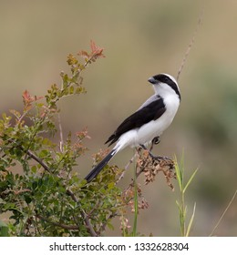 A Grey-backed Fiscal checks out the view from its perch in Kidepo National Park, Uganda.