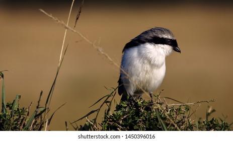 Grey-backed fiscal, Lanius excubitoroides, Single bird on branch, Northern Serengeti, Single bird on branch, Northern Serengeti