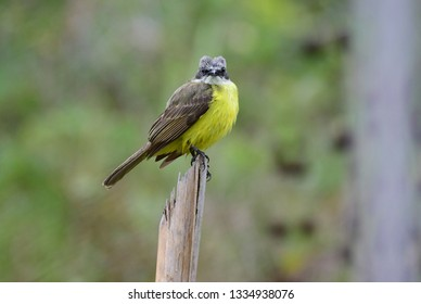 Grey-capped Flycatcher (Myiozetetes granadensis) perched on a wooden post