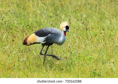 A Grey-crowned crane