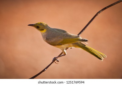 The grey-fronted honeyeater (Ptilotula plumula) is a species of bird in the family Meliphagidae. Yellow Gray bird perched on a branch in Australia.