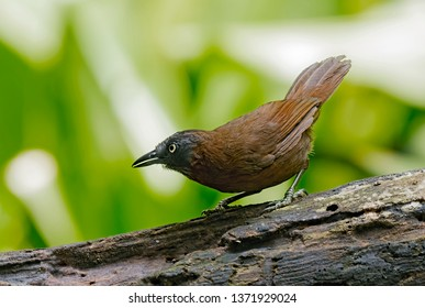 Grey-headed Babbler (Stachyris poliocephala). Photograph this bird at open area. Its natural habitat is subtropical or tropical moist lowland forest. Photo taken at Selangor, Malaysia.