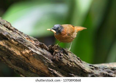 The Grey-headed Babbler (Stachyris poliocephala) is a species of bird in the Timaliidae family. It is found in Brunei, Indonesia, Malaysia, and Thailand. Its natural habitat is subtropical or tropical