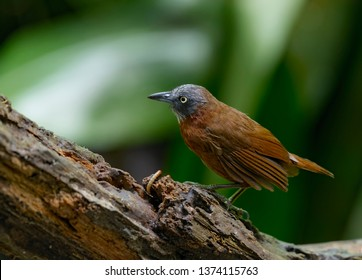 Grey-headed Babbler (Stachyris poliocephala)  is a species of bird in the Timaliidae family. It is found in Brunei, Indonesia, Malaysia, and Thailand at subtropical or tropical  moist lowland forests