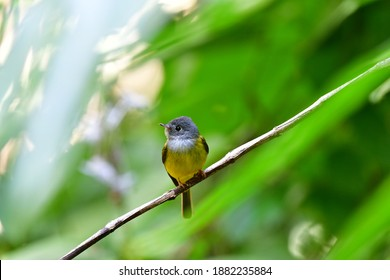 Grey-headed canary-flycatcher (Culicicapa ceylonensis), sometimes known as the grey-headed flycatcher, is a species of small flycatcher-like bird found in tropical Asia.Bird in Thailand.