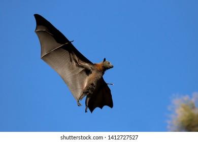 Grey-headed Flying Fox in flight