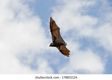 Grey-headed flying fox in flight, Botanical Gardens of Sydney