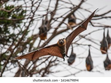 Grey-headed flying fox photographed in Geelong, Victoria Australia