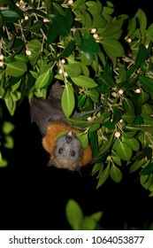 The grey-headed flying fox Pteropus poliocephalus is the largest bat in Australia. This flying fox has a dark-grey body with a light-grey head and a reddish-brown neck collar of fur