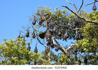 Grey-headed flying foxes in the Royal Botanic Gardens in Sydney, Australia. These gardens are home to a foxes colony of over 22,000.