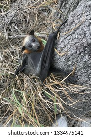 A Grey-headed flying fox(pteropus poliocephalus), clings to the base of a tree - it has broken it's wing in strong winds, and tragically, will have to be euthanized. Clarence Valley, NSW, Australia.