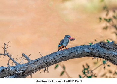 A grey-headed kingfisher (Halcyon leucocephala) perched on a branch of an Acacia tree, Samburu National Reserve, Kenya. Bokeh background. Copy space.