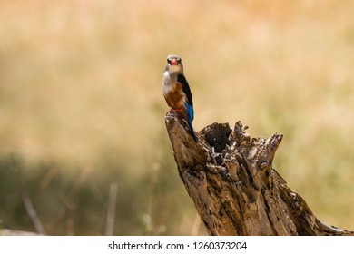 Grey-headed kingfisher (Halcyon leucocephala) perched on tree stump, Samburu National Game Park Reserve, Kenya, East Africa