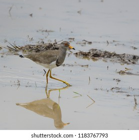 Grey-headed Lapwing, water bird or wader, searching for food in paddy field, wetland area in Thailand. Lovely migratory bird with water reflection, wild animal in natural habitat of tropical country.