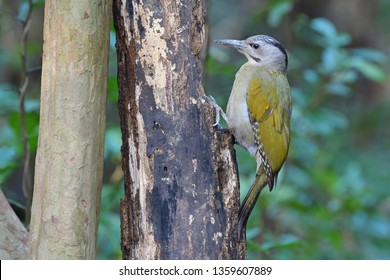 The grey-headed woodpecker (Picus canus), also known as the grey-faced woodpecker, is a Eurasian member of the woodpecker family, Picidae. Along with the more commonly found European green woodpecker.