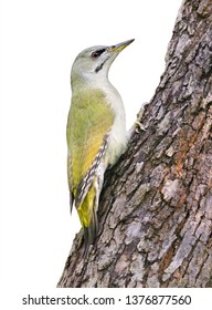 The Grey-headed Woodpecker (Picus canus), also known as the Grey-faced Woodpecker, is a Eurasian member of the woodpecker family Piciformes. Photo was taken in Ukraine