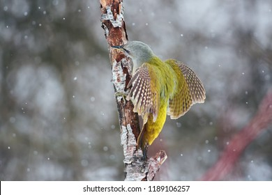 Grey-headed woodpecker (Picus canus) sits on a branch in a threatening pose (spreading its wings).
