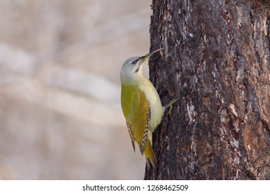 Grey-headed woodpecker (Picus canus) sits on a larch trunk sticking its tongue out in a winter forest park.