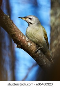 Grey-headed woodpecker, Picus canus, sitting on a tree branch in spring.