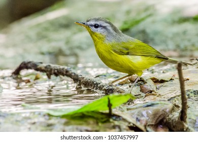 The grey-hooded warbler (Phylloscopus xanthoschistos) is a species of leaf warbler (family Phylloscopidae).