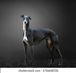 Greyhound black and white with gray background