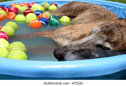 A greyhound dog cools off in a kiddie swimming pool on a hot summer day.