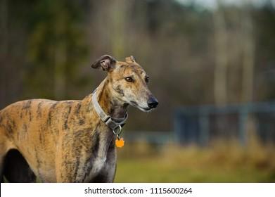 Greyhound dog outdoor portrait in fenced park
