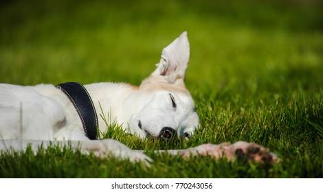 Greyhound dog portrait outdoors sleeping in grass