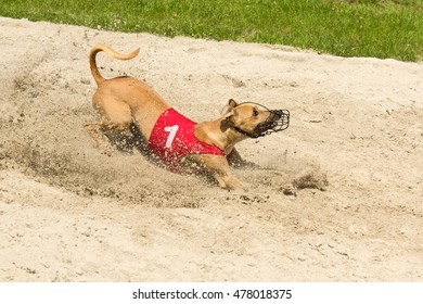 Greyhound jumping into sand