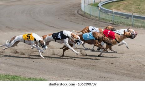 Greyhound, Magyar agár
