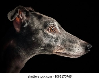 Greyhound Profile With Black Background