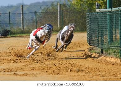 Greyhound race on sand