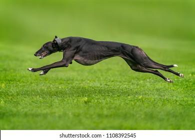 Greyhound runnding over grass