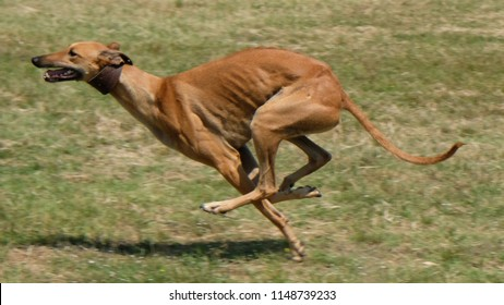 Greyhound is running  in pursuit of a mechanical hare (rabbit)
