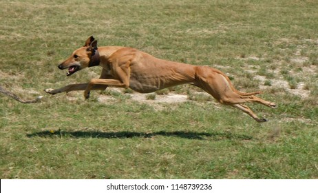 Greyhound is running  in pursuit of a mechanical hare (rabbit), stretched leg