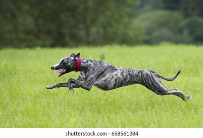 The greyhound is running, the whippet is jumping
