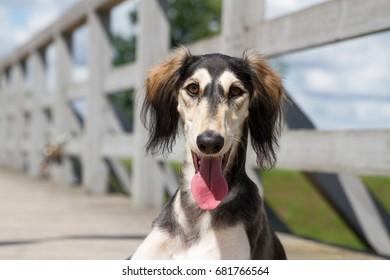 Greyhound saluki dog in the park