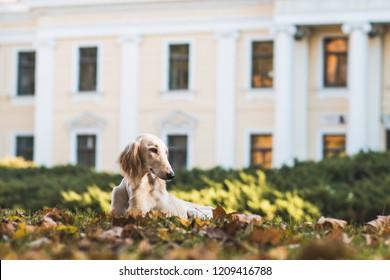 Greyhound saluki dog posing in autumn colorful  park