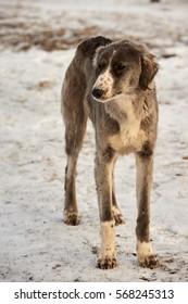 Greyhound in winter