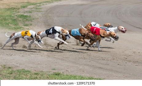 Greyhounds at racing