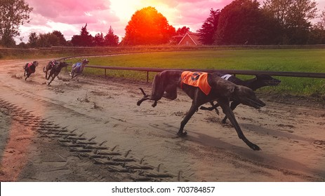 Greyhounds racing in the Sunset