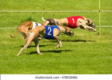 Greyhounds racing. Wearing numbers one two and three.