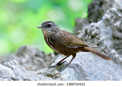Greyish Limestone-babbler (Turdinus crispifrons) exotic dark brown camouflage bird perching on limestone rock mountain found in U-thai Thani, Thailand