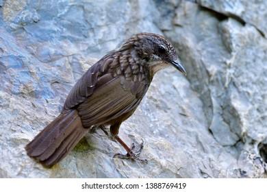 Greyish Limestone-babbler (Turdinus crispifrons) fascinated dark brown camouflage bird climbing on limestone rock  at its habitation home mountain only found in U-thai Thani, Thailand