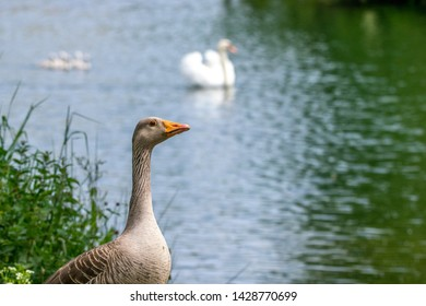 Greylag geese (anser anser) with offspring