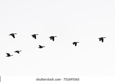 Greylag geese, Germany, Europe