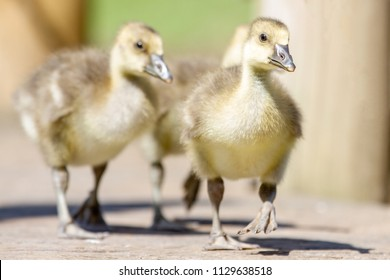 Greylag geese goslings (anser anser) in summer sunshine, Gloucestershire, UK