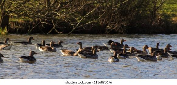 Greylag Geese on Lake